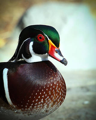 Photograph - Wood Duck Profile by Steve McKinzie