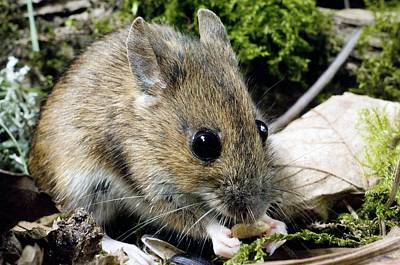 Nibbling Photograph - Wood Mouse Feeding by Duncan Shaw