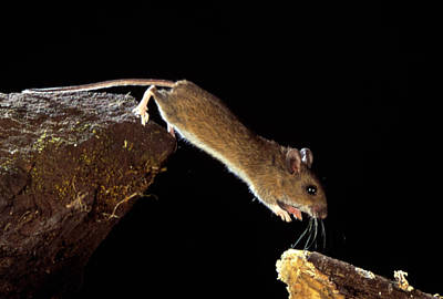 Jumping Mouse Photograph - Wood Mouse Leaping by Andy Harmer