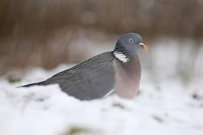 Wood Pigeon In Snow Art Print by Colin Varndell