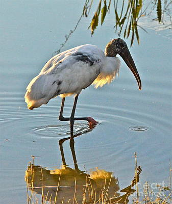 Photograph - Wood Stork At Sunset by Carol  Bradley