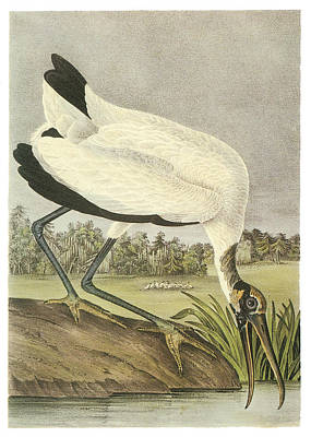 Wood Stork Print by John James Audubon