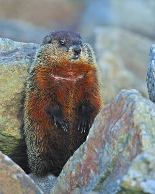Groundhog Photograph - Woodchuck by Tony Beck