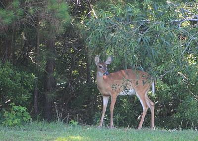 Photograph - Woodland Deer by Jeanne Kay Juhos