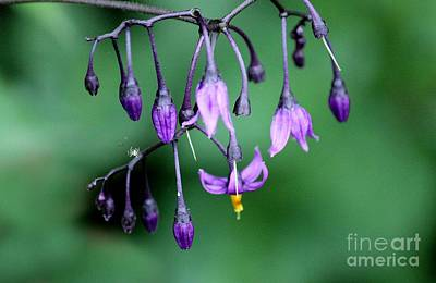 Photograph - Woody Nightshade by Erica Hanel