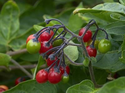 Solanum Dulcamara Photograph - Woody Nightshade (solanum Dulcamara) by Adrian Bicker