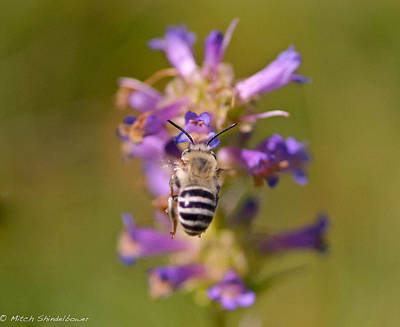 Art Print featuring the photograph Worker Bee by Mitch Shindelbower