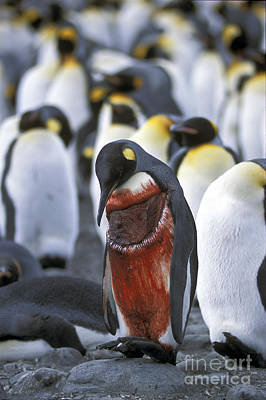 Photograph - Wounded King Penguin by Greg Dimijian