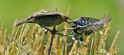 Photograph - Wy-7-12-grand Teton Np-cowbird And Warbler1 by Diana Douglass