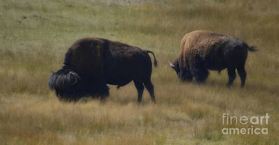 Wyoming Buffalo Art Print by Donna Greene