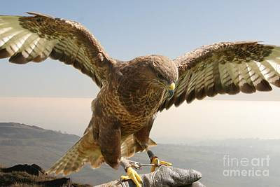 Photograph - Wyre Hawk by Ed Lukas