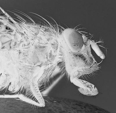 Housefly Wall Art - Photograph - X Ray Fly by Blackcatzz photography