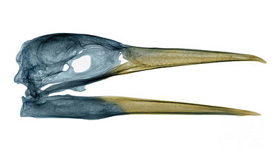 Heron  - X-ray Of A Great Blue Heron by Ted Kinsman