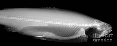 Fresh Water Fish Photograph - X-ray Of A Trout by Ted Kinsman