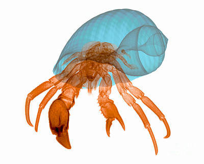 X-ray Of Hermit Crab Art Print by Ted Kinsman