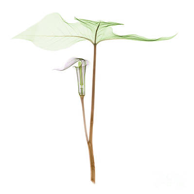 Photograph - X-ray Of Jack-in-the-pulpit by Ted Kinsman
