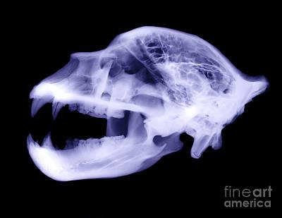 X-ray Of Kodiak Bear Skull Art Print