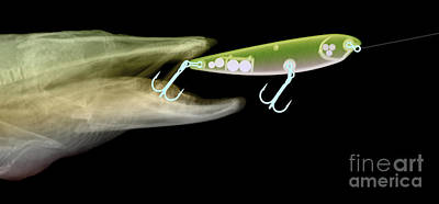 Muskellunge Photograph - X-ray Of Muskie & Lure by Ted Kinsman
