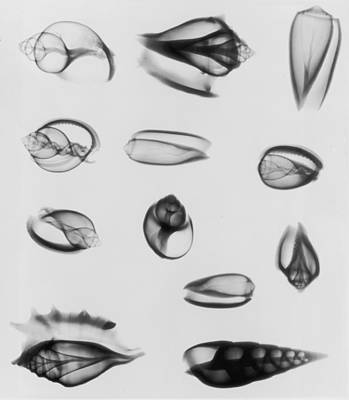 X-ray Image Photograph - X-ray Twelve Shells by Edward Charles Le Grice