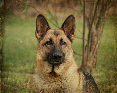 Yahtzee - German Shepherd Print by Sandy Keeton