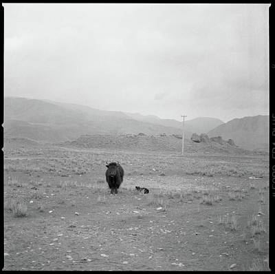 Yak Photograph - Yak In Grassland by Oliver Rockwell
