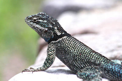 Ramsey Canyon Photograph - Yarrows Spiny Lizard by Doris Potter