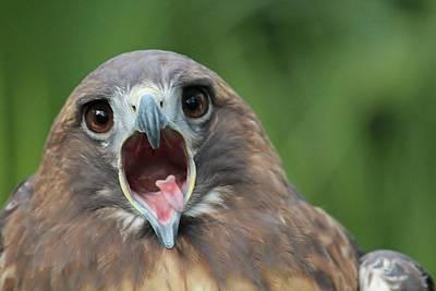 Yawning Hawk Art Print by Alexander Spahn
