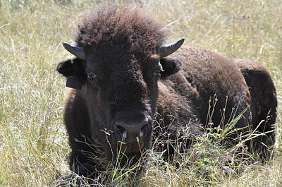 Photograph - Big-haired Yearling Buffalo by Robert Habermehl
