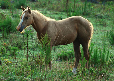 Yearling Palomino Chewing On A Stick - C0482c Art Print by Paul Lyndon Phillips