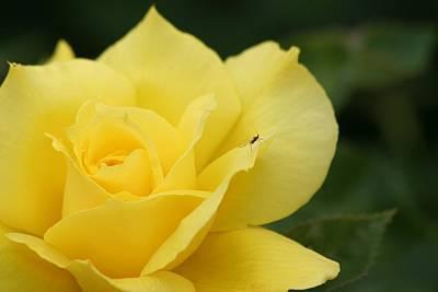 Photograph - Yello Rose by Scott Brown