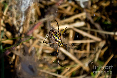 Photograph - Yellow And Black Garden Spider by Ms Judi