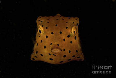 Trunkfish Wall Art - Photograph - Yellow And Black Spotted Boxfish, North by Mathieu Meur