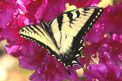 Photograph - Yellow And Black Swallowtail In Azalea by Christopher Kirby