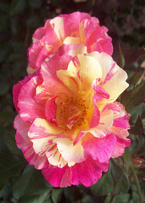 Lisa Williams Photograph - Yellow And Pink Rose by Lisa Williams