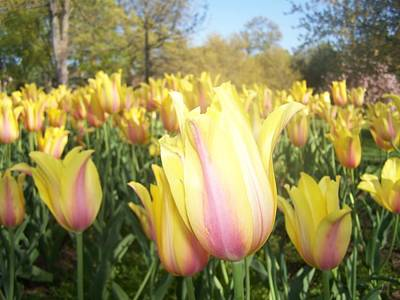 Photograph - Yellow And Pink Tulips by Sandra Lira