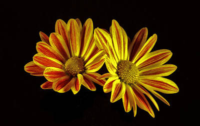 Photograph - Yellow And Red Daisies. by Chris  Kusik