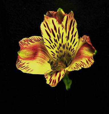 Photograph - Yellow And Red Peruvian Lily. by Chris  Kusik