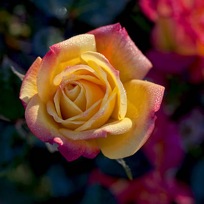 Photograph - Yellow And Red Rose by John Noel
