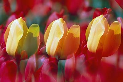 Three Of A Kind Photograph - Yellow And Red Tulip Blooms by Natural Selection Craig Tuttle