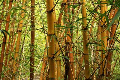 Photograph - Yellow Bamboo by Jennifer Bright