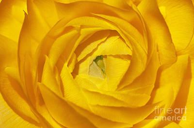 Photograph - Yellow Beauty by Sandra Bronstein