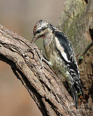 Photograph - Yellow-bellied Sapsucker by Jack R Brock