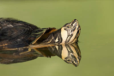 Yellow-bellied Slider Trachemys Scripta Art Print by Ingo Arndt