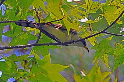 Yellow Billed Cuckoo Original by Alan Lenk