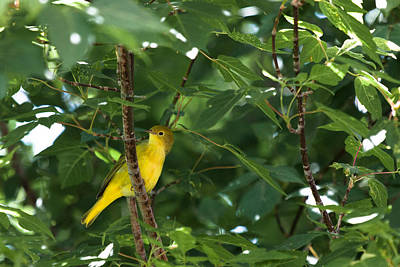 Photograph - Yellow Bird by Chris Fullmer