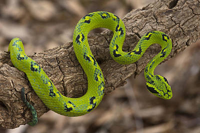 Photograph - Yellow-blotched Palm Pitviper by Pete Oxford