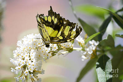 Photograph - Yellow Butterfly Beauty by Andrea Hazel Ihlefeld