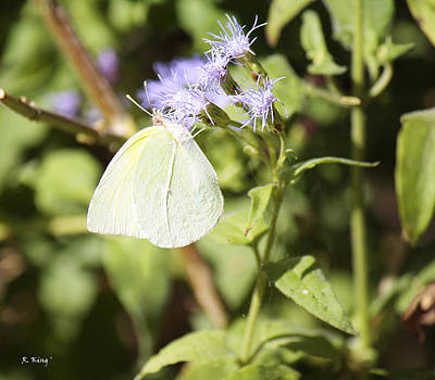 Photograph - Yellow Butterfly Feeding On Violet Flower by Roena King