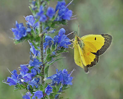 Photograph - Yellow Cabbage Butterfly by Rodney Campbell