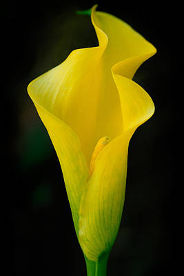 Yellow Cala Art Print